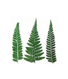 Comprar Flor seca prensada pond fern verde de Conideade