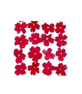 Flor seca prensada verbena roja