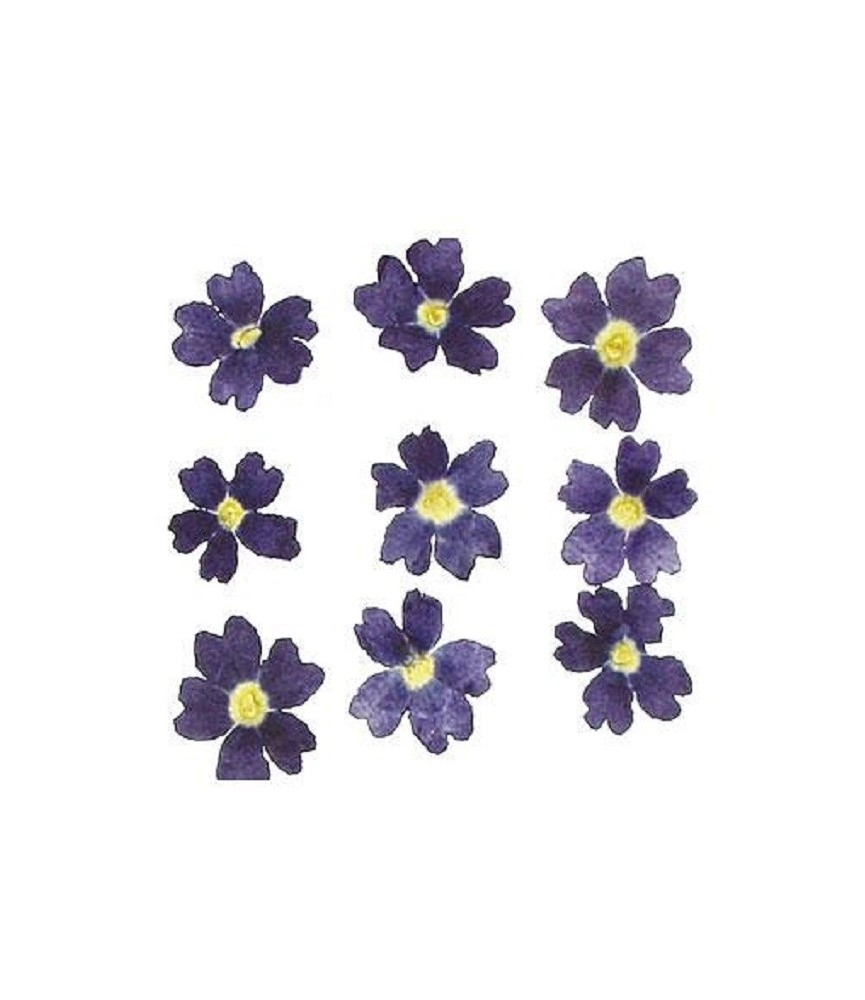 Flor seca prensada mini chrysanthemum azul