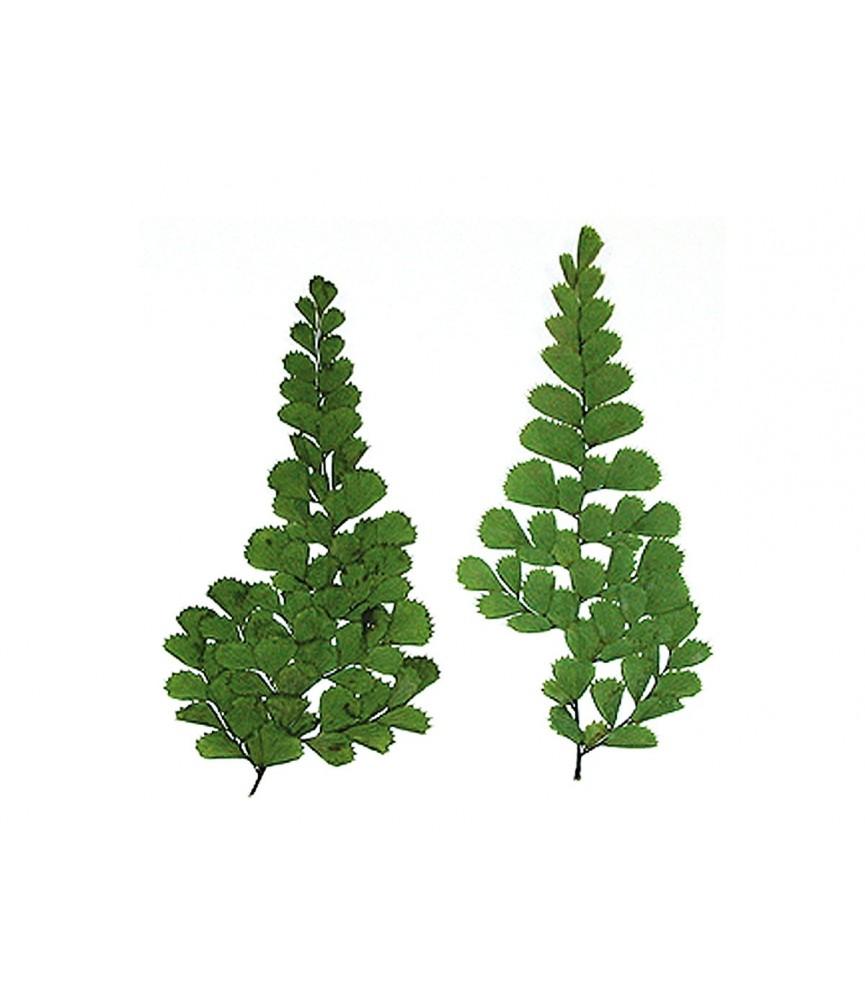 Flor seca prensada fern verde